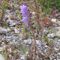"""Creeping Bellflower"""